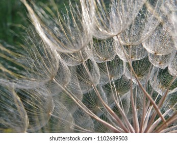 Giant Dandilion,Yellow Goatsbeard,Yellow Salsify or Wild Oysterplant dried and upclose in nature with textures and details