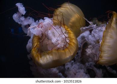 giant dangerous jellyfish