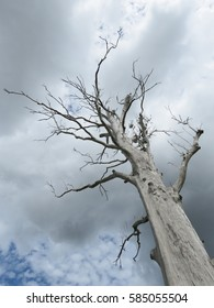 Giant dead gum tree