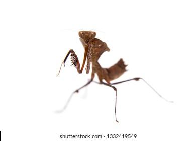 Giant Dead Leaf Mantis, Deroplatys desiccata on white