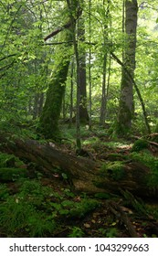 Giant dead moss wrapped oak lying at summer deciduous forest, Bialowieza Forest, Poland, Europe