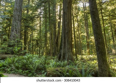 Giant Douglas Fir, red cedar trees and ferns bathed in sunlight in Cathedral Grove, MacMillan Provincial Park, Vancouver Island, BC