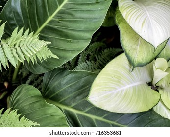 Giant elephant ear or green taro texture and Dieffenbachia,Close-up of leaf veins,Dark background