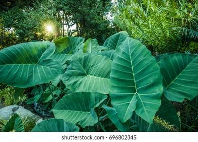 Giant elephant ear plants in a jungle environment