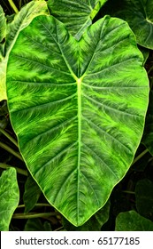 Giant Elephant Ear Taro leaf -- Alocasia macrorrhizos (L.) G. Don