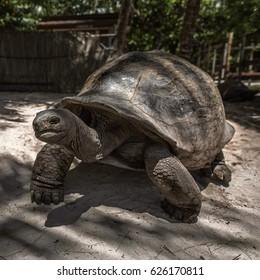 giant elephant tortoise Seychelles La Digue