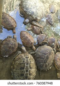 Giant family of turtles cooling off in the water under heat of the summer sun