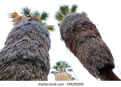 Giant fan palms in a oasis in Joshua Tree National Park, USA