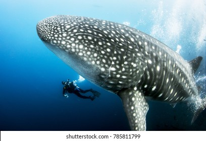 Giant Female Pregnant Whale Shark Whaleshark Photo Bomb from Darwin Islands in the Galapagos Islands, with scuba diver underwater
