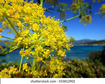 giant fennel flower and sea, Corsica, France