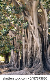 Giant ficus, Moreton Bay fig