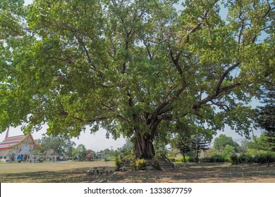 Giant Ficus Religiosa Tree (Bo Tree, Bodhi Tree, Pipal Tree) in buddhist temple with blue sky background, taken in Thailand.