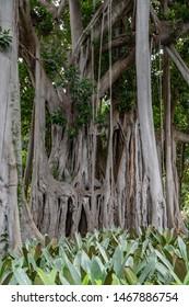 Giant Ficus Tree , ficus benjamina in the botanical garden of Puerto de la Cruz, Tenerife, Spain