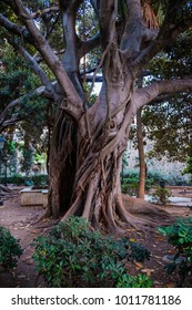 A giant ficus tree on Ortigia island garden, in Siracusa, Sicily