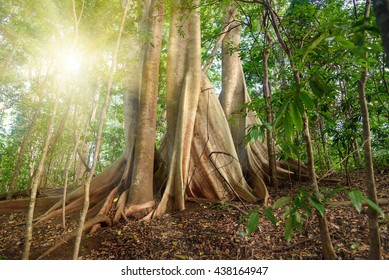 Giant ficus tree in Tangkoko National Park. North Sulawesi. Indonesia
