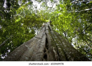 Giant fig tree in the rainforest of Queensland, Australia. Looking up the trunk of a huge tree.