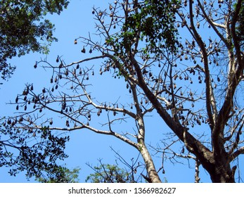 Giant flying foxes resting on a tree branch against a blue sky. Indian Flying Foxes in the rainforest in Sri Lanka