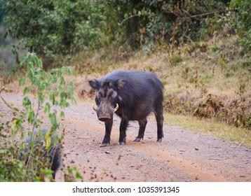 Giant forest hog in Aberdare national park, kenya