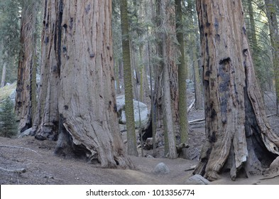 The Giant Forest of Sequoia National Park in Tulare County, in the U.S. state of California. By volume, these are the largest known living trees on Earth
