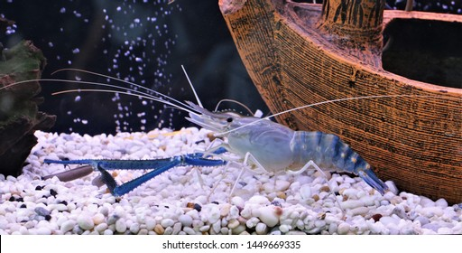 Giant freshwater prawn in fish tank. Macrobrachium rosenbergii is a commercially important species of palaemonid freshwater prawn,the biggest freshwater prawns is widely cultivated for food.