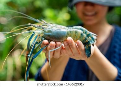 giant freshwater prawn in fisherman hand