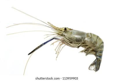 giant freshwater prawn on white background