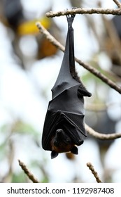 Giant fruit bat or Hanging Lyle's flying fox resting on tree branch with open big eyes, horror mammal in holloween night