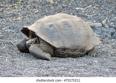 Giant Galapagos tortoise on Isabela Island in the Galapagos Islands