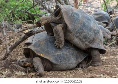 Giant Galapagos Tortoises mating  Santa Cruz Island Galapagos Ecuador