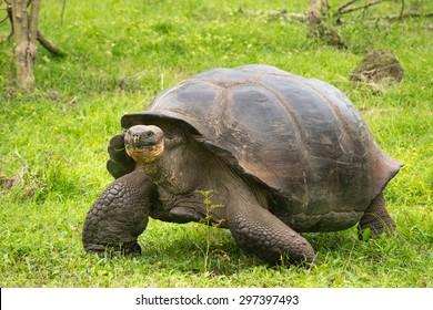 A giant Galapagos turtle, Galapagos islands, Ecuador, South America