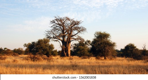 Giant Glencoe Baobab tree in Kruger National Park, South Africa.
