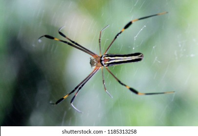 Giant golden orb web spider Nephila pilipes siting on the web. Beautiful bokeh background.Spiders ( Araneae) are air-breathing arthropods have eight legs and chelicerae with fangs that inject venom.