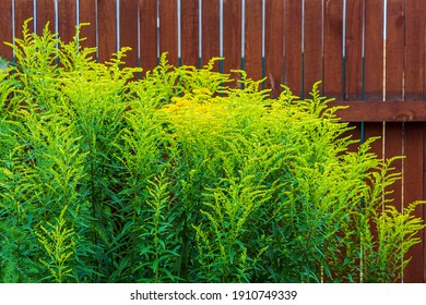 Giant goldenrod, golden rozga gigant (Solidago gigantea), is species of dicotyledonous flowering plants of Asteraceae family. Yellow blooming flowers against wodden fense. For seed packaging cover