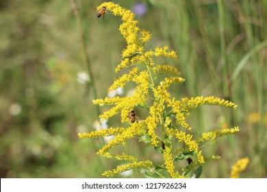 Giant Goldenrod Plants