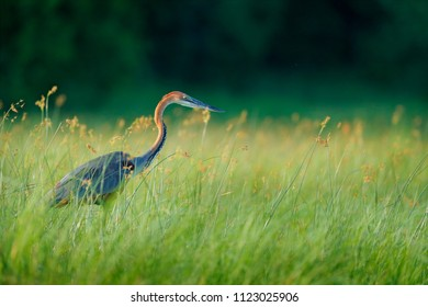 Giant goliath eron, Ardea goliath, the biggest heron walking in morning grass along the bank of the Okavango river against blurred dark background. Moremi, Okavango delta, Botswana, Africa
