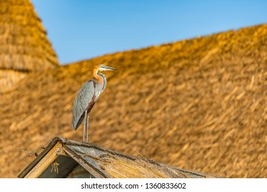 Giant Goliath heron, Ardea goliath, the biggest heron, standing on a roof searching the waters of Lake Baringo for fish. It blends in with surroundings. Copy space. Bokeh background. Kenya, Africa.