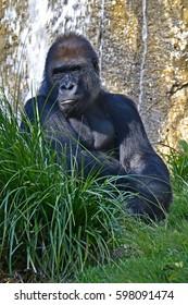 giant gorilla gazing at his surroundings