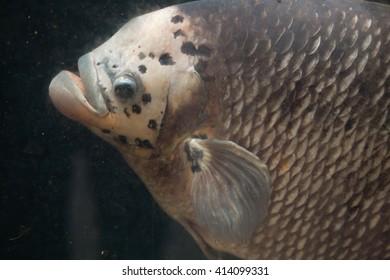 Giant gourami (Osphronemus goramy). Wild life animal.
