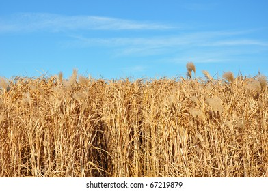 Giant grass (Miscanthus)