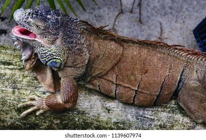 Giant Green Iguana as pet