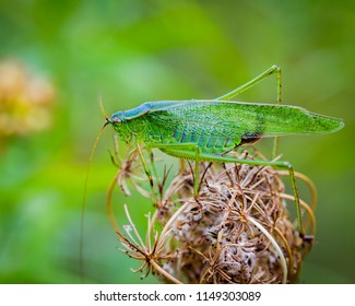 Giant Green Katydid