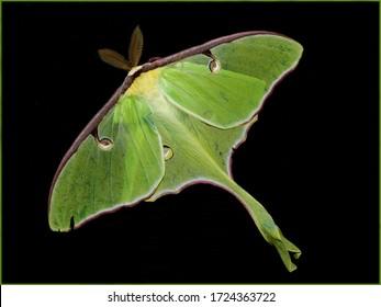 Giant Green Luna Moth on Black background
