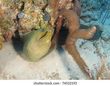 giant green moray in tropical coral reef, roatan, honduras