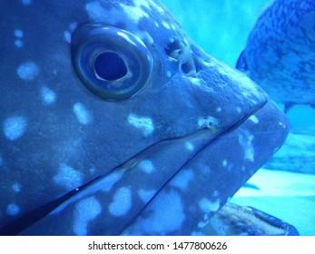 Giant grouper in big aquarium tank