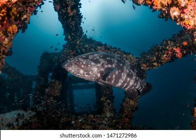 A giant grouper (Epinephelus lanceolatus) at the artificial reef block underwater near sail rock dive site.