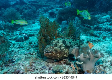 Giant grouper (Epinephelus lanceolatus) hiding in soft corals