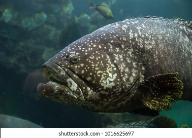 The giant grouper (Epinephelus lanceolatus), also known as the brindlebass, brown spotted cod, or bumblebee grouper, and Queensland grouper in wildlife aquarium, Show big mouth, Head, Eyes and face.