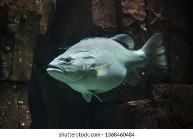 Giant grouper (Epinephelus lanceolatus), also known as the banded rockcod.