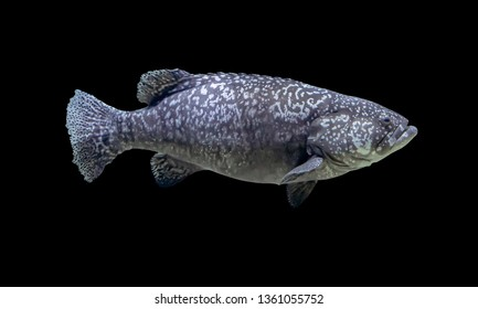 Giant grouper fish isolated in dark back