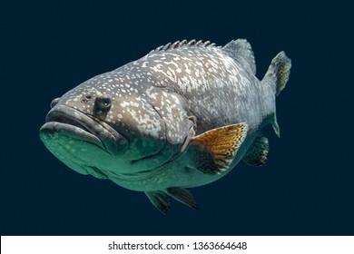 Giant grouper fish swimming in dark aquatic ambiance